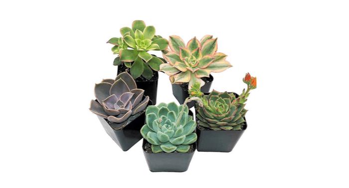 realsucculentplants