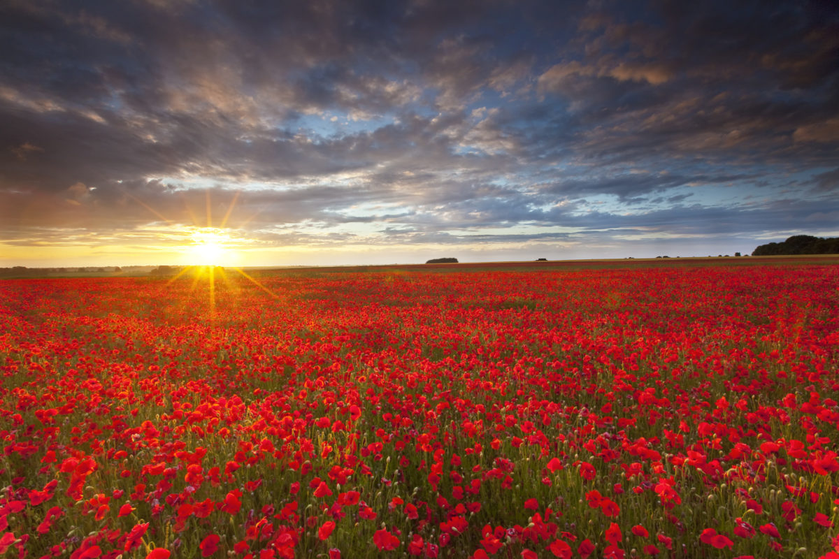 Summer poppies at sunset